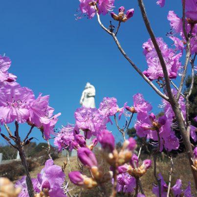 【2021フォトコン】女神に春を告げるゲンカイツツジ (対馬 仁位)@tadaakiabiruさん